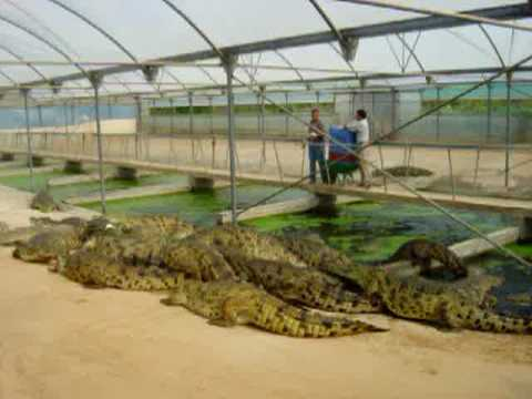 Next Stop: Crocodiles! Visit the exciting Crocodile farm and zoo